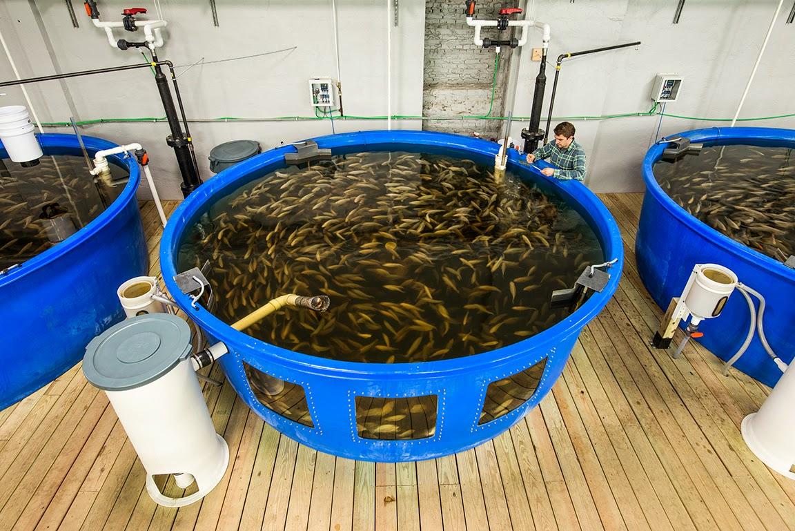 Asesor a trucha y tilapia for Criadero de peces en casa