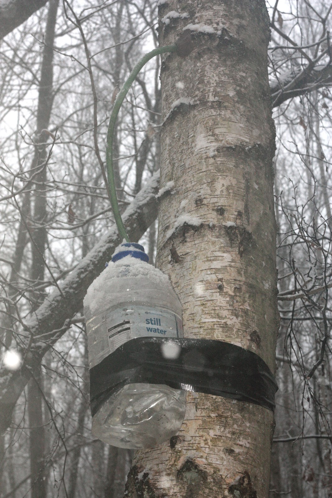 Birch sap - when to collect, benefit and harm 62