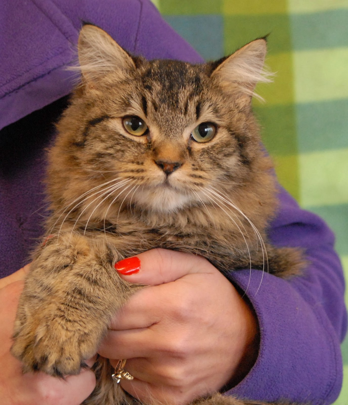 Nevada SPCA Animal Rescue Delilah a Maine Coon mix kitten for