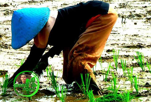 Teknik menanam padi / tandur ombol dan ecek