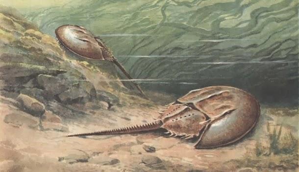 Caranguejos ferradura