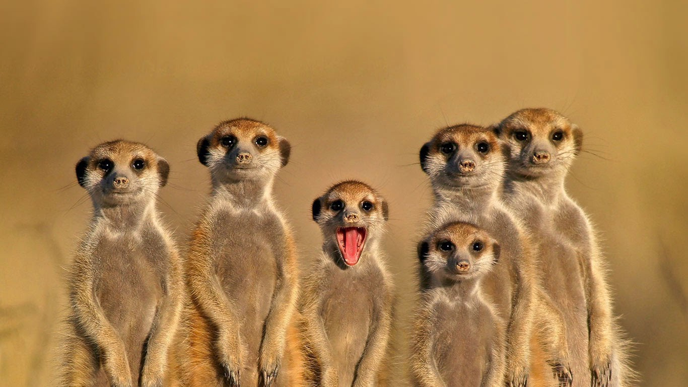 Meerkats in Botswana (© Nico Smit/Rex Features) 141