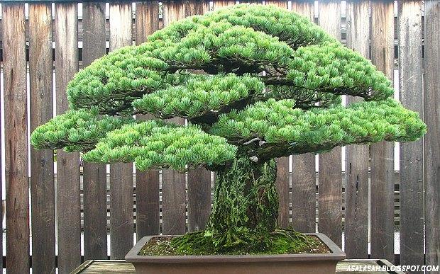 http://asalasah.blogspot.com/2015/08/ini-dia-bonsai-390-tahun-yang-selamat.html