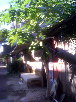 Pepaya (Carica papaya L.)