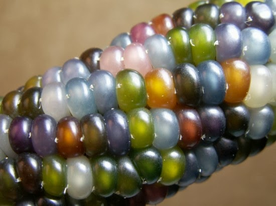 A Feast for the Eyes – The Beautiful Glass Gem Corn