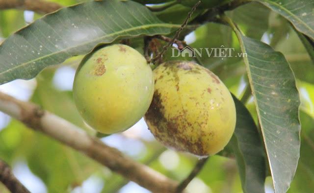 Đặc sản xoài cơm trái nhỏ Quảng Ngãi, ngọt thơm khó bì