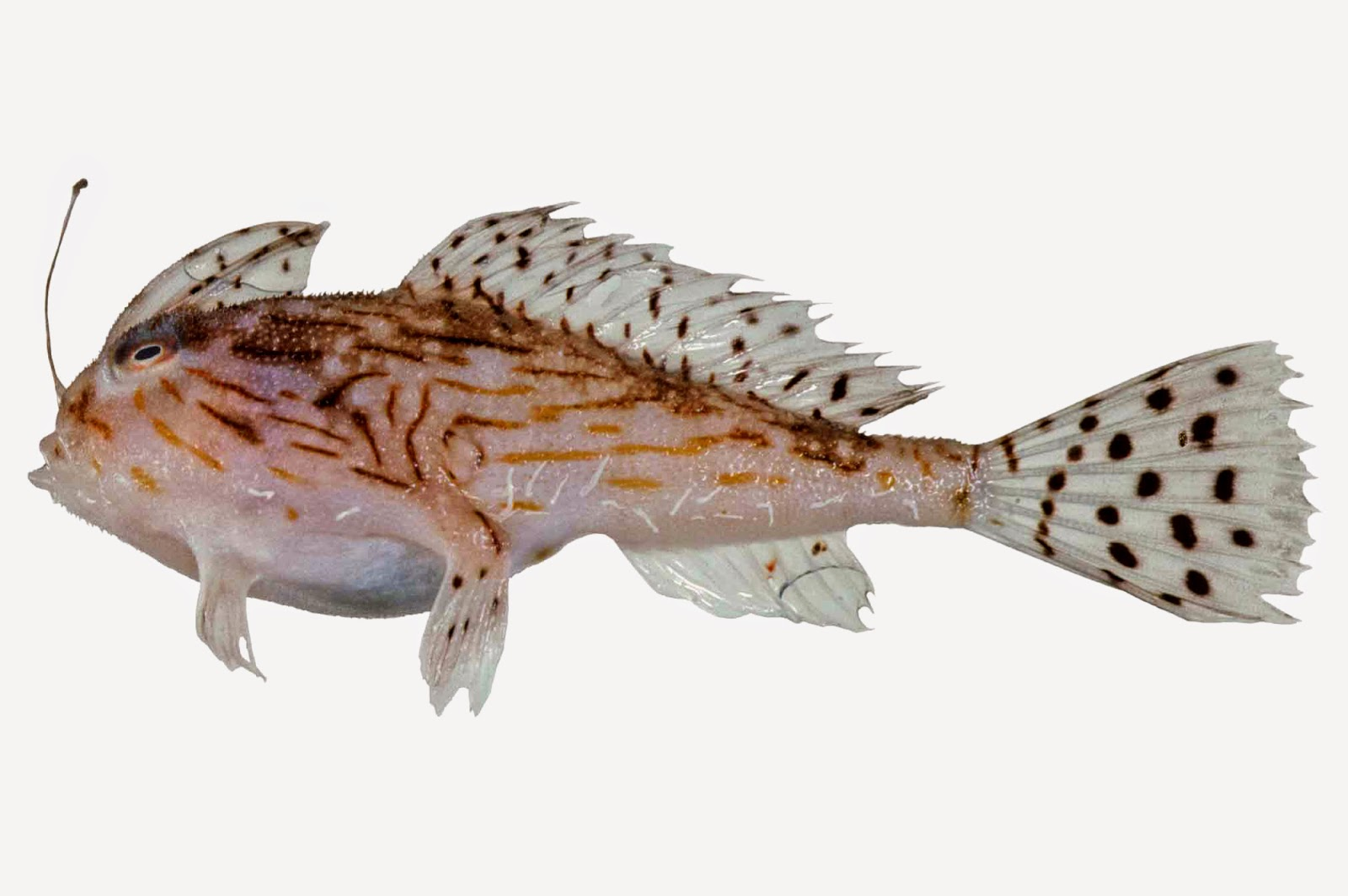 http://fishshare.blogspot.com/2015/01/handfish-pictures-2.html