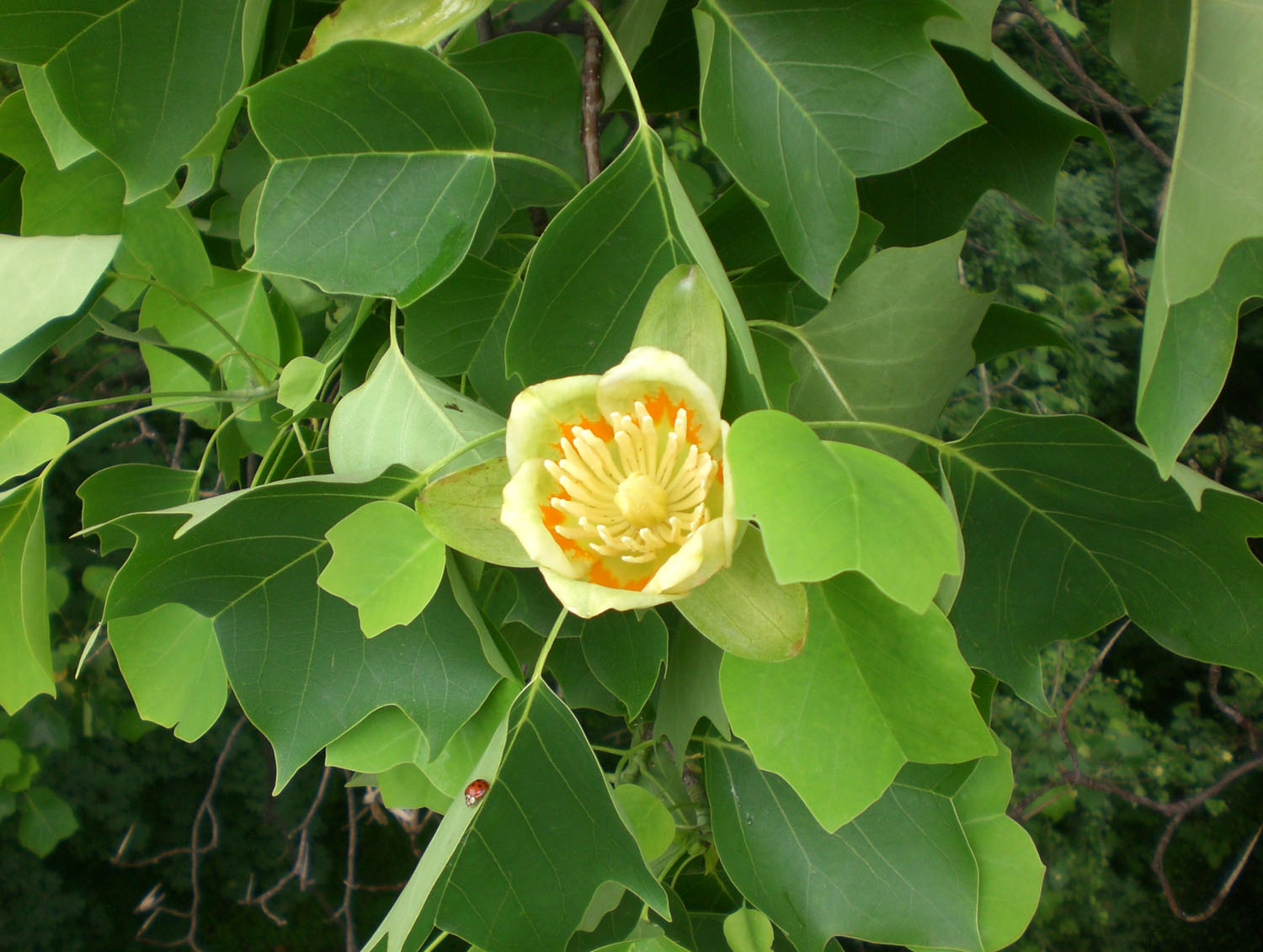The Top Of A Tulip Tree