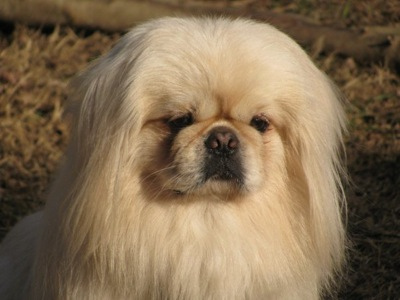 Cute Dogs: White Pekingese Dog