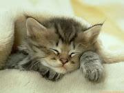 Los gatos y los perros son animales afectivos a los que les gustan los mimos . (fotos de gatos tiernos )