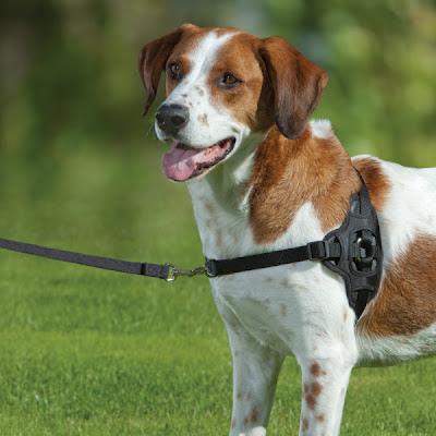 Training Stubborn Little Dog To Stop Pulling