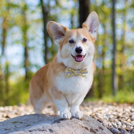 https://www.facebook.com/WallyTheWelshCorgi