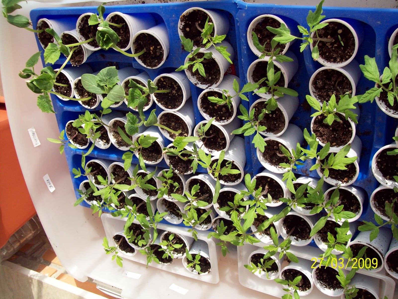 Vida sostenible obtener semillas de un tomate - Cuando plantar tomates ...
