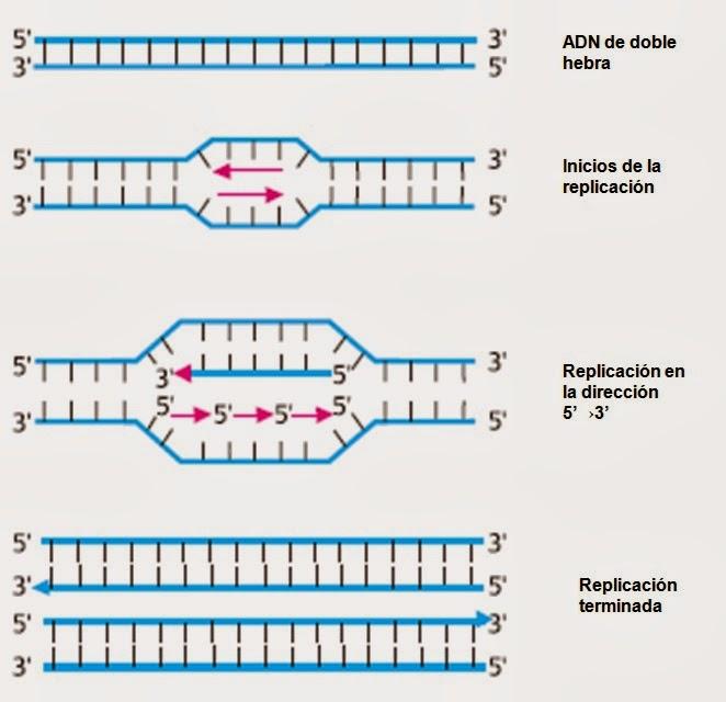 Replicación del ADN   Apuntes de Biología Molecular