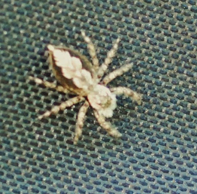 Michigan Spiders - Jumping Spider-1