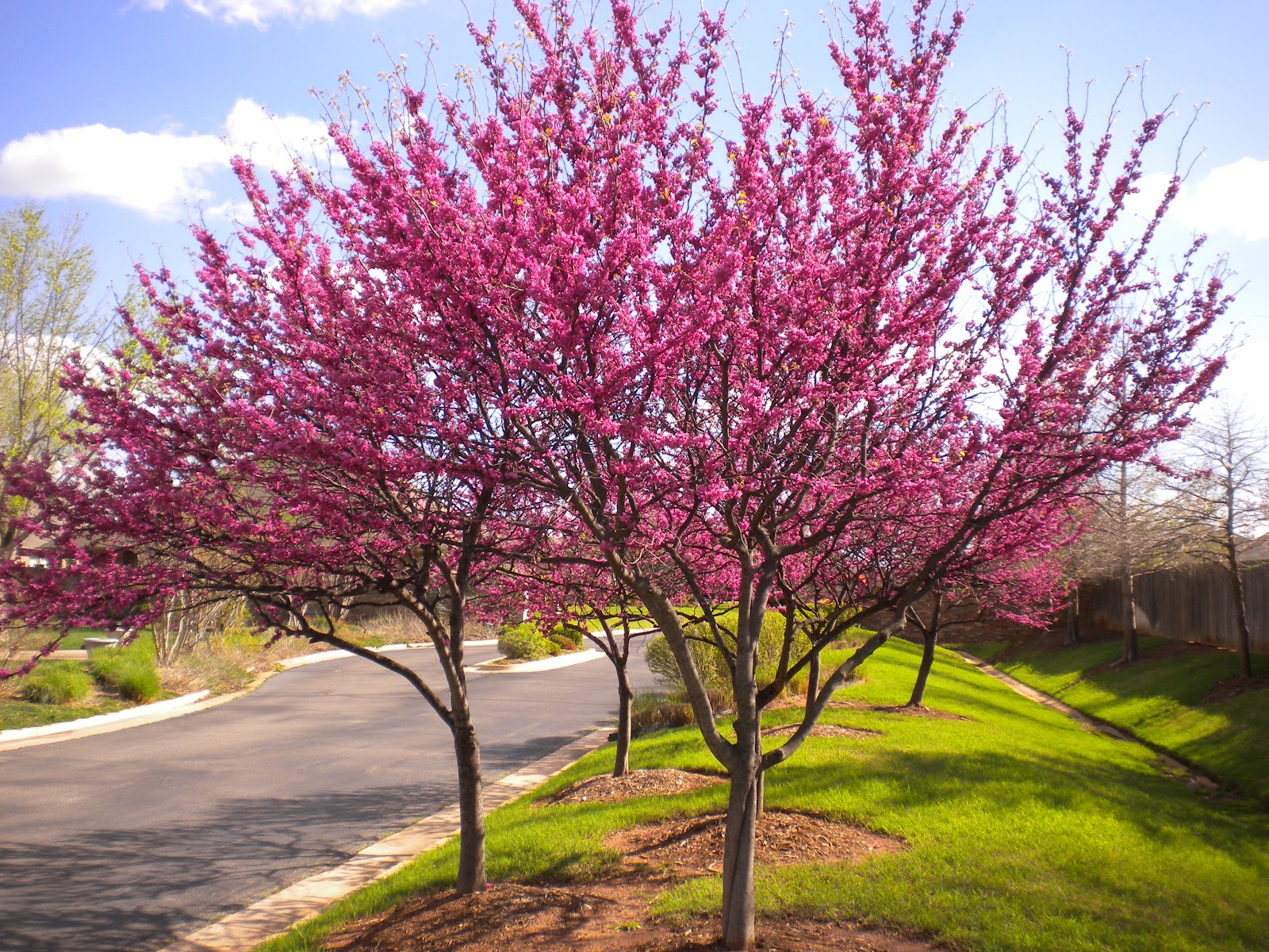 From the jardin encantado redbud tree for Jardin 0 l4anglaise