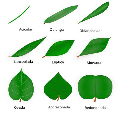 Metodos de la ciencia 2014 tipos de hojas y sus nombres for Nombres de los arboles de hoja perenne