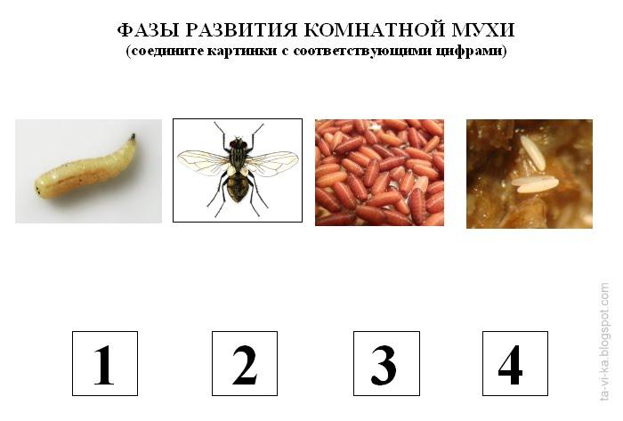 муха схема развития