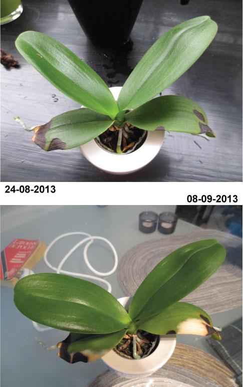 Orchid es au fil du temps coup de soleil 2 - Coup de soleil tache blanche ...