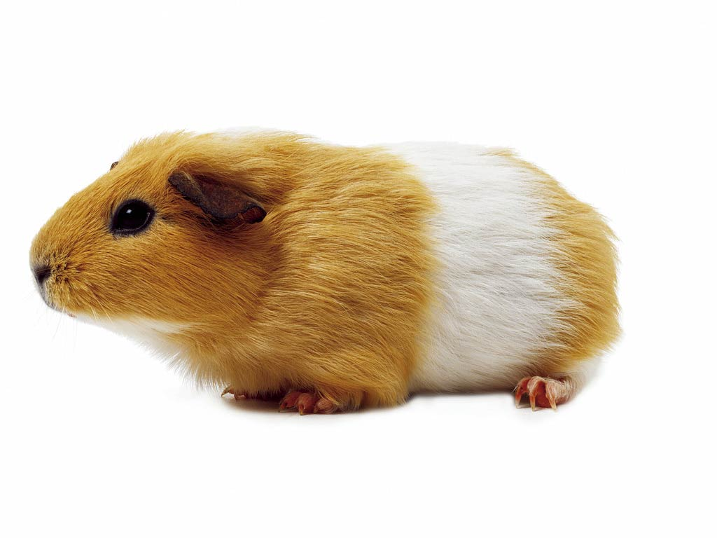 Free Cool Wallpapers Gerbil Wallpaper