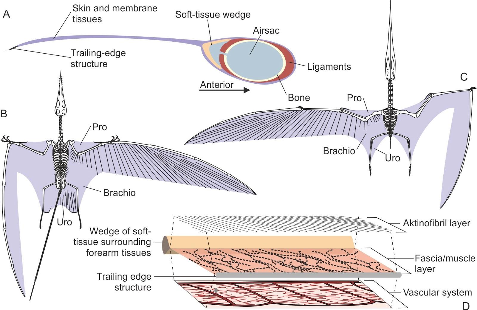 Bat muscle diagram bat muscle diagram photo25 pooptronica Images