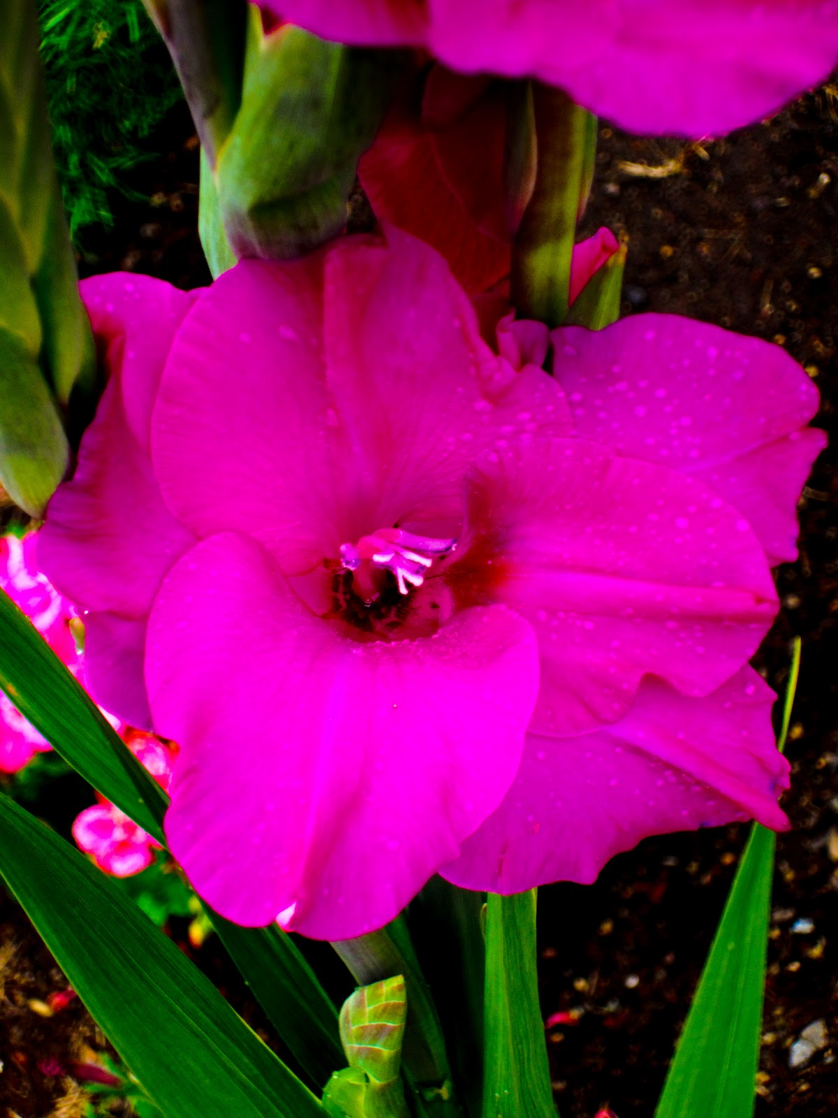 Picture Gladiolus Flower Beautiful Flowers