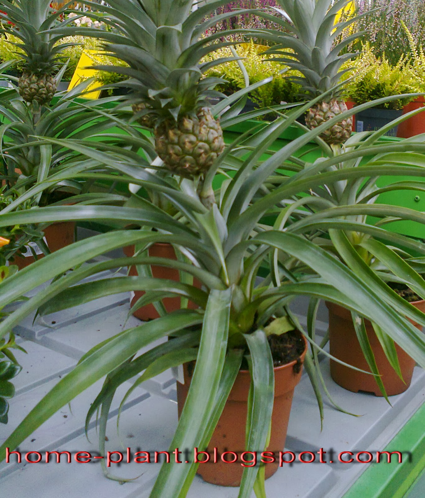 Как ухаживать за ананасом в домашних условиях 29