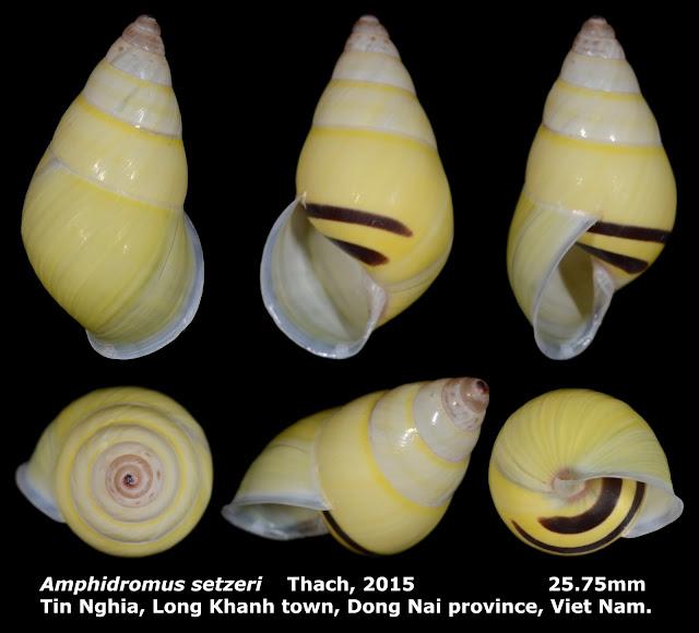 Amphidromus setzeri 25.75mm