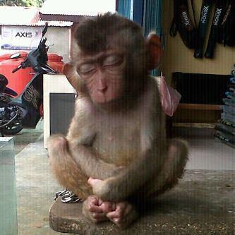 Foto Monyet Tidur