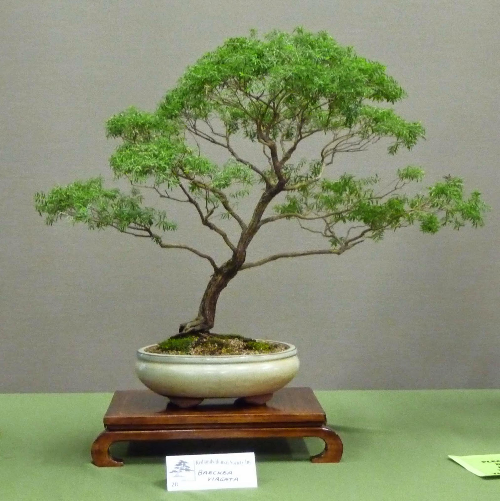 Bonsai Amp Pottery Post 150 Australian Native Bonsai Exhibition