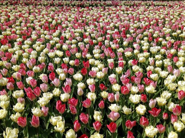 Ảnh đẹp cuộc sống: Bộ hình nền đẹp về cánh đồng hoa Tulip 3