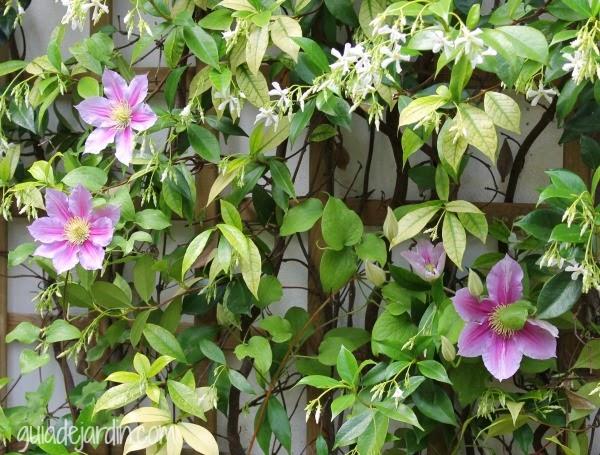 Clematis Piilu, Trachelospermun Jasminoides