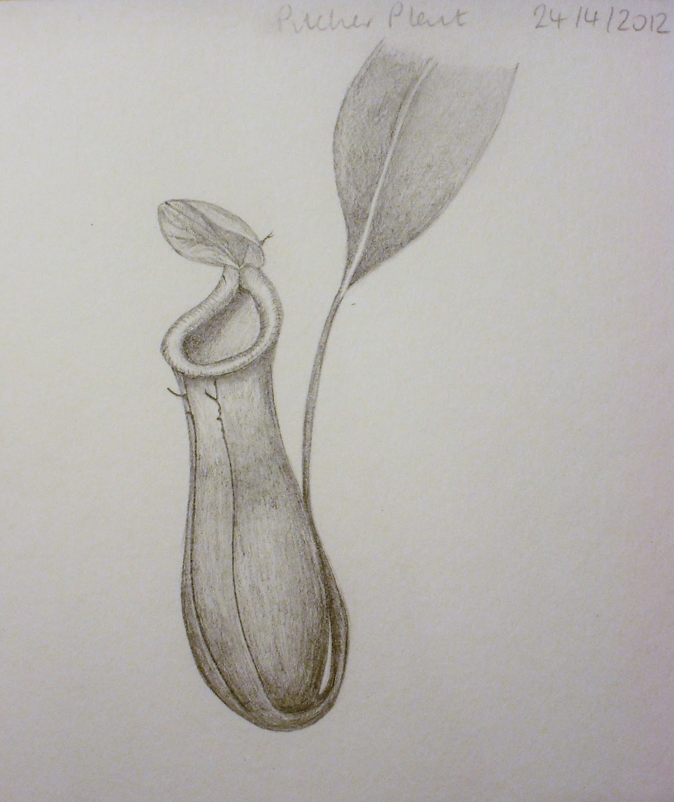 Pitcher plant drawing - photo#4
