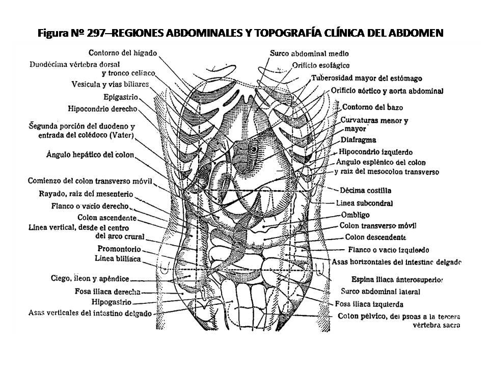 ATLAS DE ANATOMÍA HUMANA: 297. REGIONES ABDOMINALES Y TOPOGRAFÍA ...