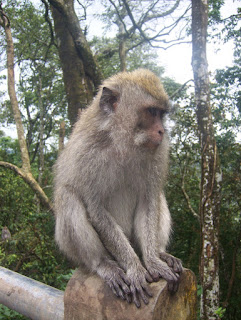 monyet bali