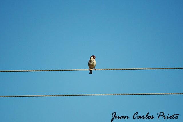 Excursión Grupo Local SEO-Sevilla SEO/BirdLife a las marismas de Doñana. Jilguero.