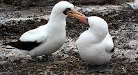 Nazca Boobies in mating dance Galapagos Islands
