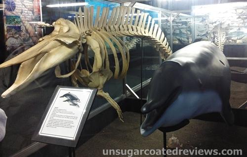 Blainville's beaked whale skeleton