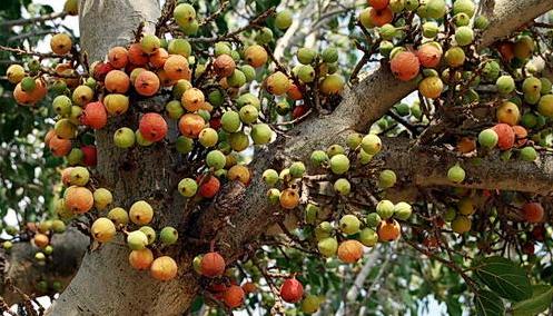Ayurvedic Benefits for Ficus Racemosa
