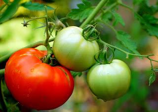 tomato allergy