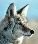 coyote thegame