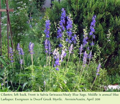 Annieinaustin, Cilantro, Larkspur, Salvia farinacea