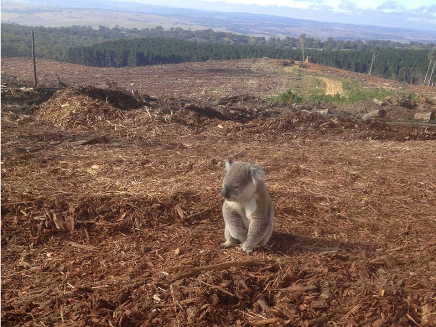 #3 Koala Lost Her Home - 22 Heartbreaking Photos Of Pollution That Will Inspire You To Recycle