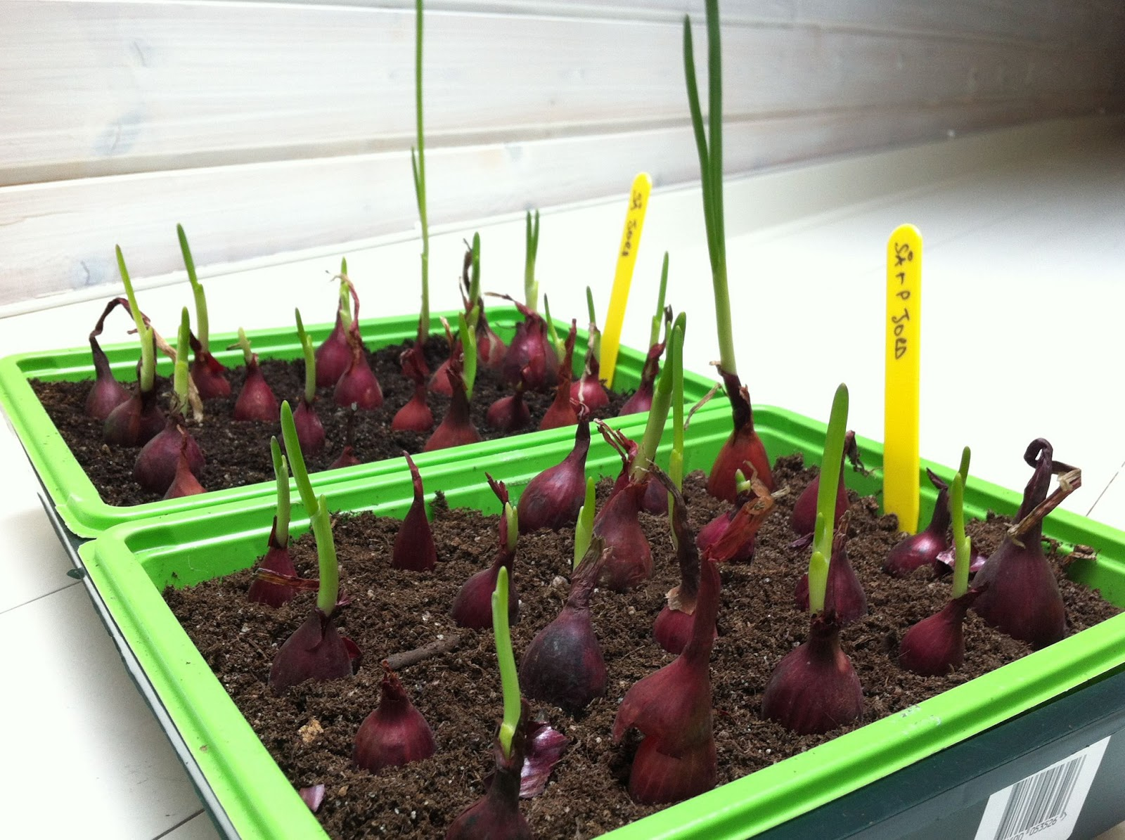 Swapping the city lights for rural sweden red onions for Indoor gardening onions