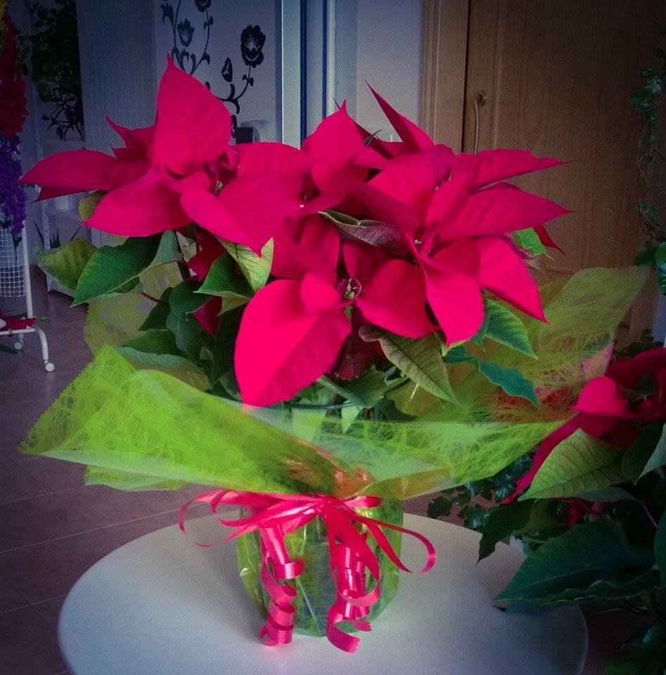 Florister a casa mercedes la flor de pascua y sus cuidados - Que cuidados necesita la flor de pascua ...