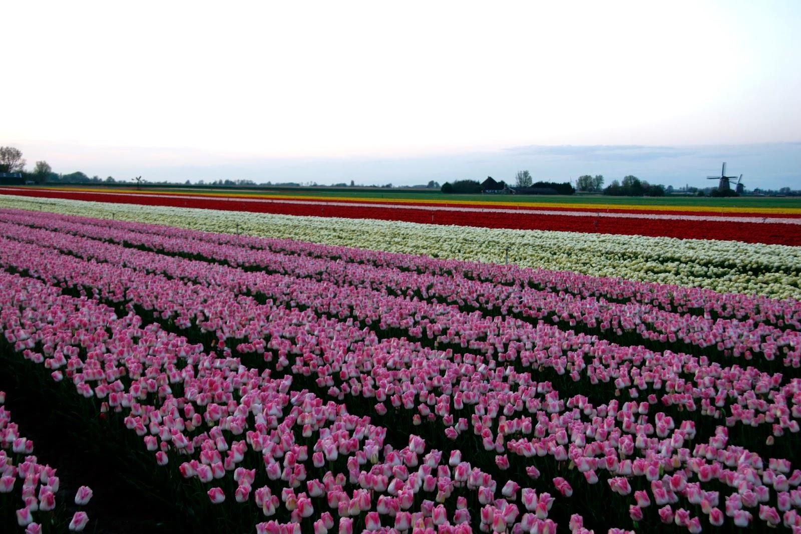 http://vws-flowerbulbs.nl/flowerbulbs/tulip/