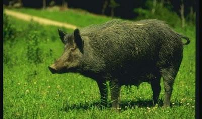Cara Kami Mengusir Babi Hutan dari Lahan Jagung