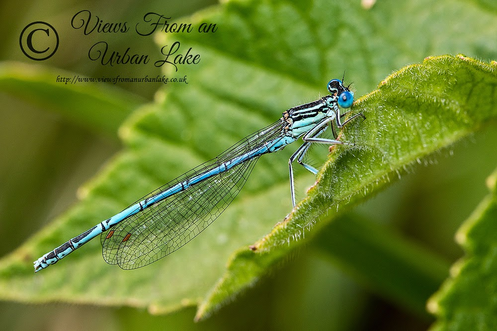 White-Legged Damselfly (Male) - Teardrop Lake, Milton Keynes