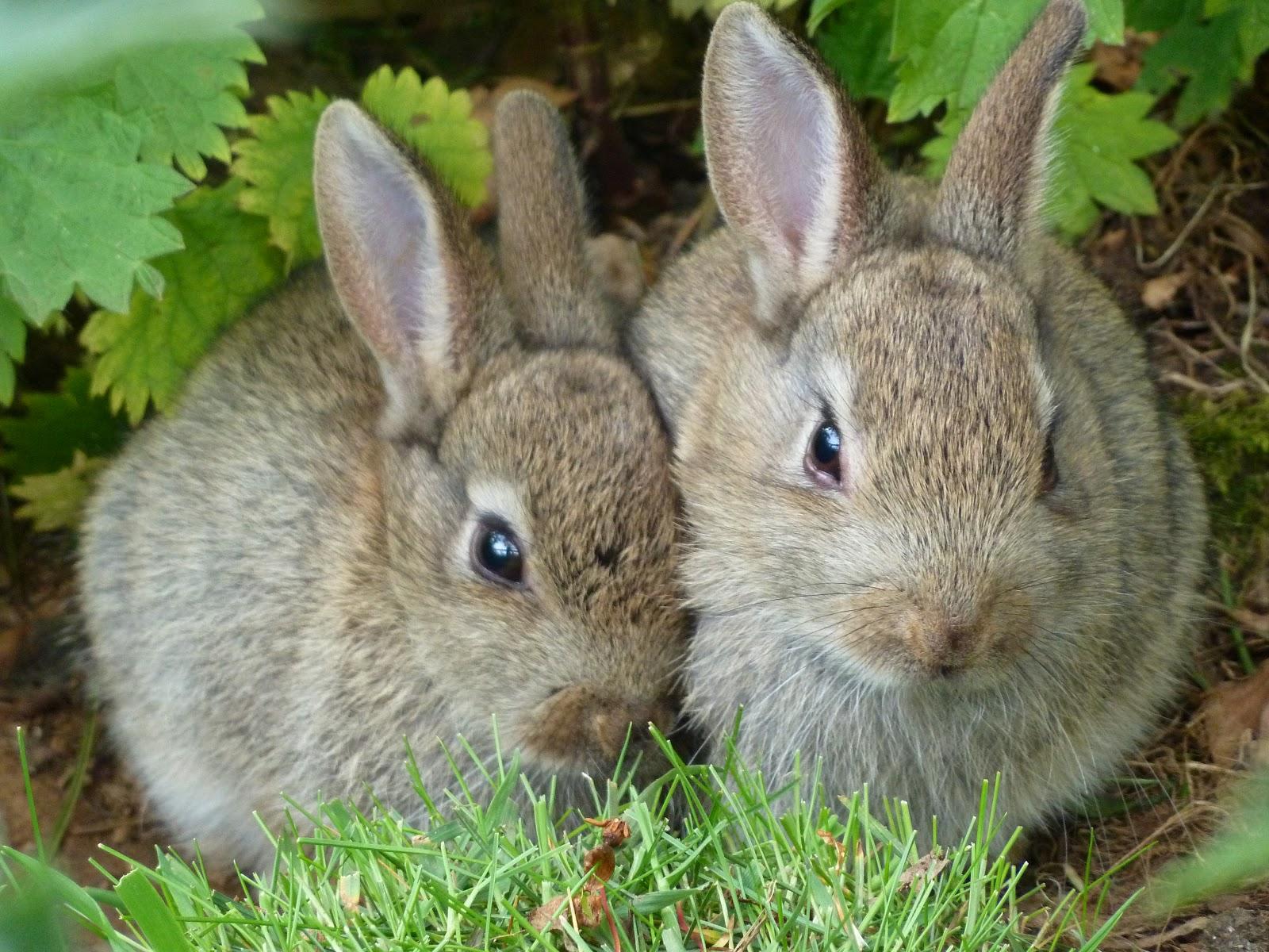 Wild Backyard Rabbits : Wild Baby Rabbits Image courtesy of davesgarden
