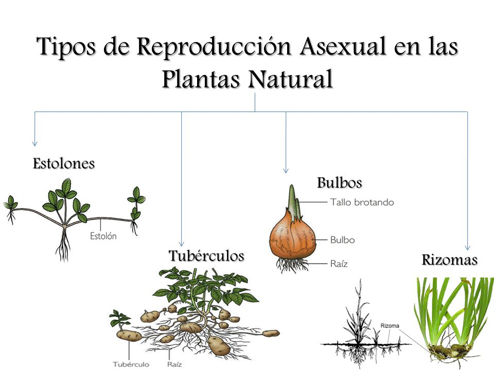 Clases de reproduccion asexual natural en plantas